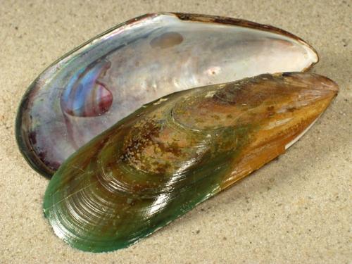 Perna canaliculata NZ 1/2 8+cm