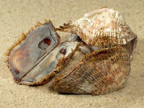 Arca noae FR-Mittelmeer 3+cm