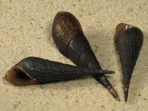 Melanoides cf. plicaria 2,5+cm