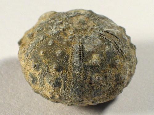 Cidaris sp. Jura MA 2,5+cm