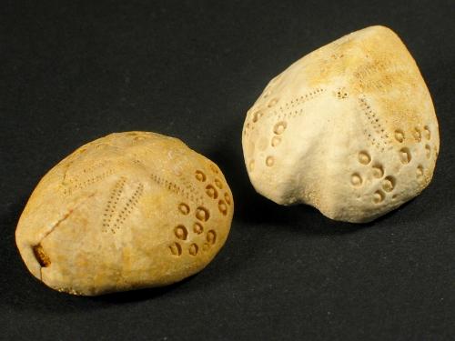 Lovenia forbesii Miozän AU 2,5+cm