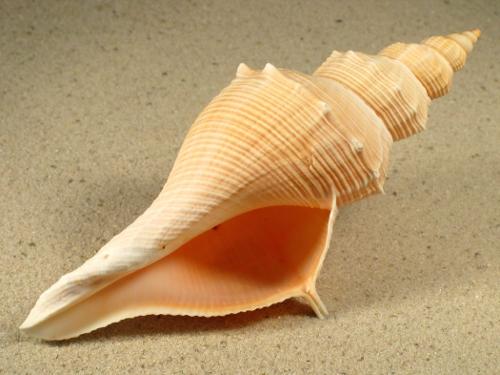 Hemifusus kawamurai VN 12+cm