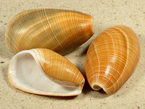Scaphander lignarius FR-Mittelmeer 4,4+cm