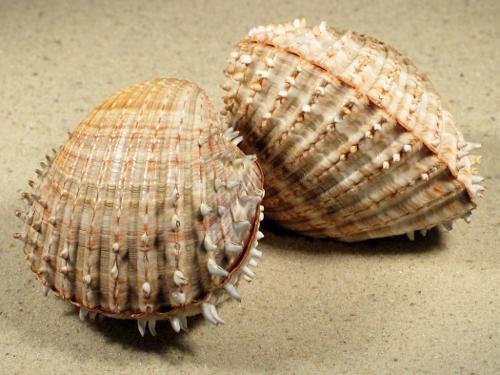Acanthocardia aculeata FR-Mittelmeer 6+cm