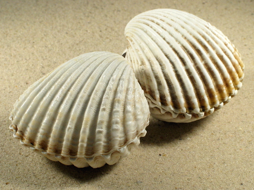 Acanthocardia tuberculata *weiß* FR-Mittelmeer 6,5+cm