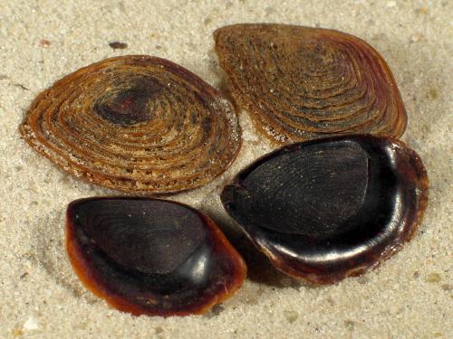 Hexaplex cichoreum Operculum PH 2+cm
