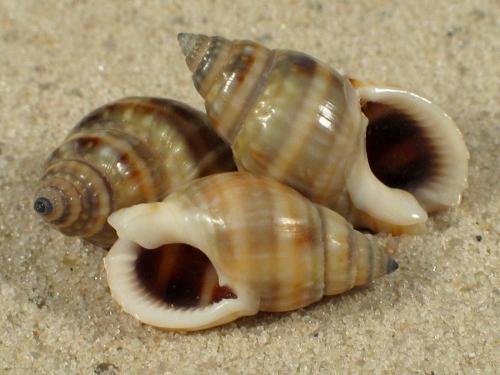 Nassarius distortus PH 1,6+cm