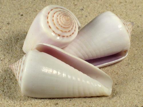 Conus inscriptus weiß IN 3,5+cm