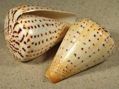 Conus betulinus 07,5+cm