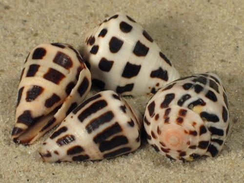 Conus ebraeus PH 3+cm