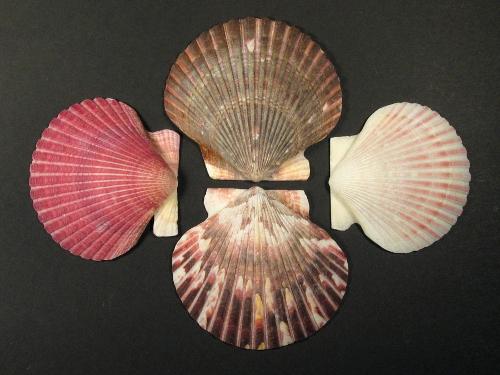 Purpur Kamm-Muschel 1/2 5,5-8cm