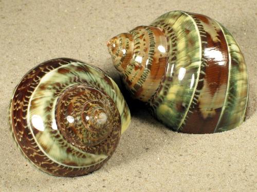 2,5-2,9 - Turbo petholatus grün-braun mit Streifen