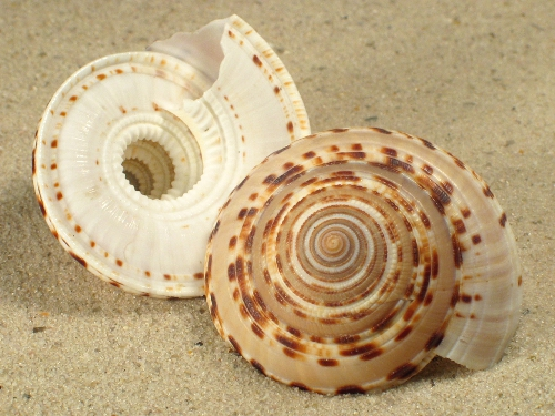 Architectonica maculata 3+cm