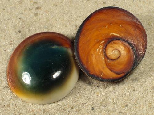 Turbo petholatus Operculum 3+cm