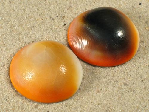 Turbo chrysostomus Operculum 2,5+cm