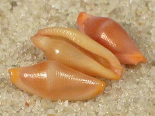 Crenavolva tinctura PH 0,7+cm