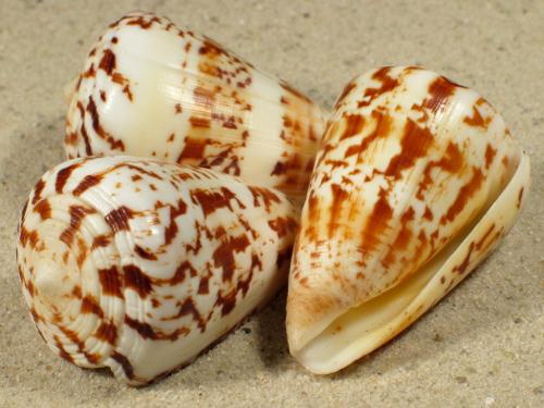 Conus caracteristicus IN 5+cm