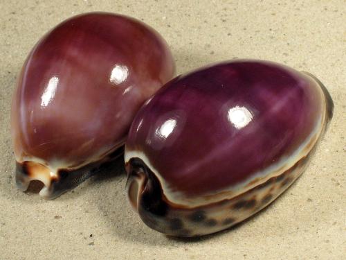 Cypraea tigris *violett* 7,5+cm