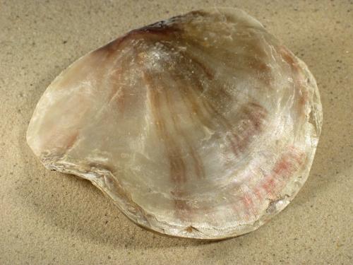 Placuna ephippium PH 12+cm
