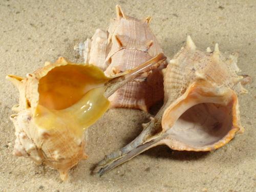 Bolinus brandaris FR-Mittelmeer 6+cm