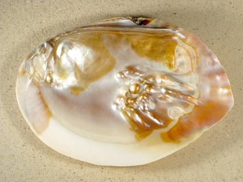 Hyriopsis cumingii 1/2 mit Perlen 16+cm