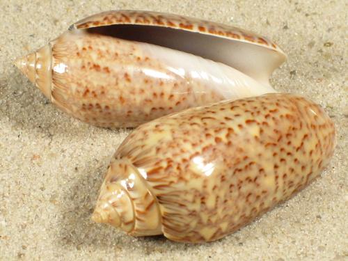 Oliva spicata MX 3,5+cm