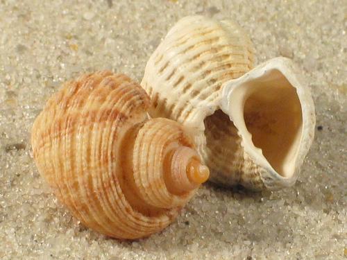 Trigonostoma semidisjunctum ZA 1,5+cm