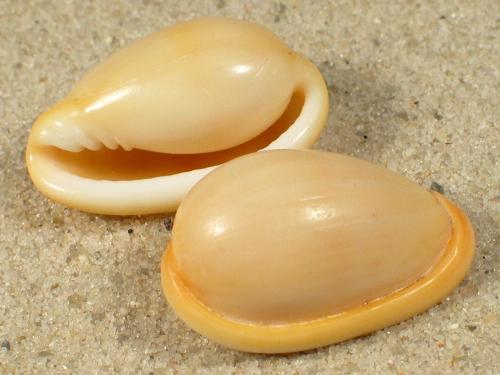 Closia giadae MG 2,3+cm