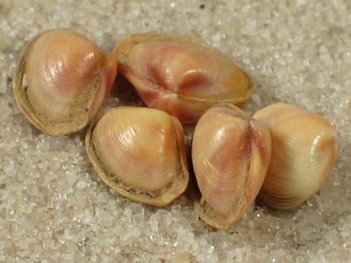 Corbula gibba f. rosea IT 0,3+cm