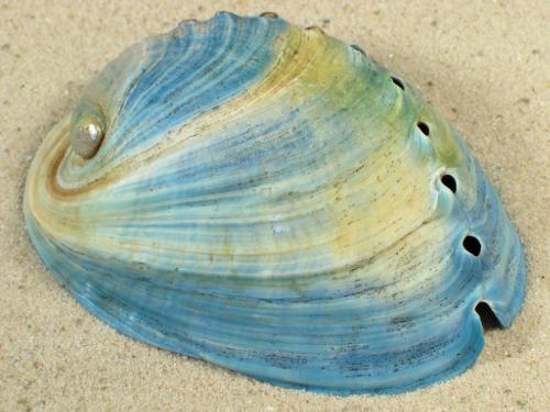 Haliotis iris NZ-Aquakultur *blau* 7+cm