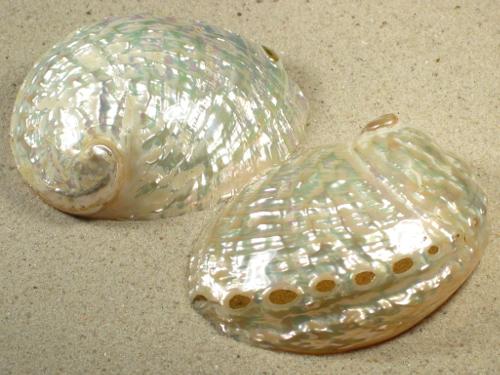Haliotis assimilis Perlmutt 8,5+cm
