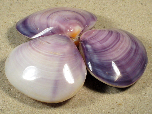 Batissa violacea polished PH 7+cm
