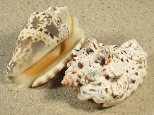 Strombus lentiginosus 7,5+cm