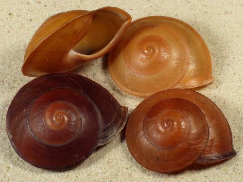 Anixa siquijorensis PH 4+cm