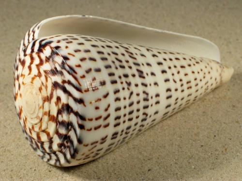 Conus leopardus 10+cm