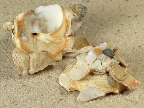 Xenophora crispa IT 4,5+cm
