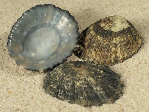 Patella lugubris CV 2,7+cm