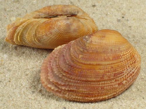 Irus crebrelamellatus AU 3+cm