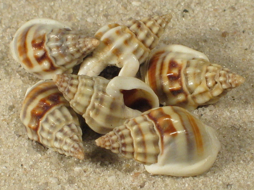 Nassarius jacksonianus 1+cm (x10)