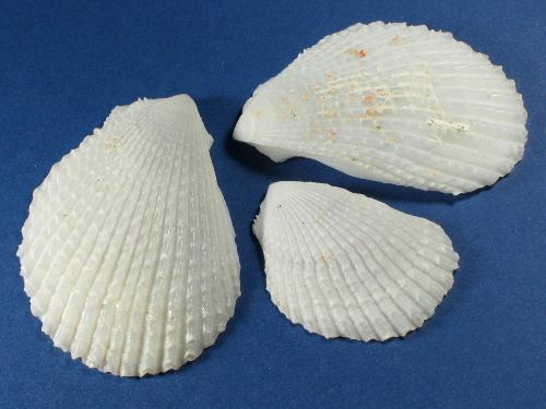 Feilenmuschel 1/2 4-6cm (x3)