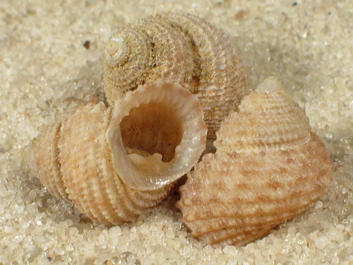 Danilia eucheliformis PH 0,9+cm