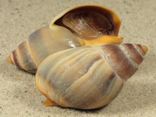 Buccinanops globulosus w/O AR 3,5+cm