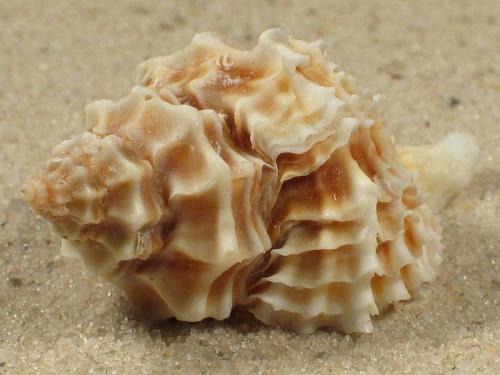 Lataxiena fimbriata PH 3,5+cm