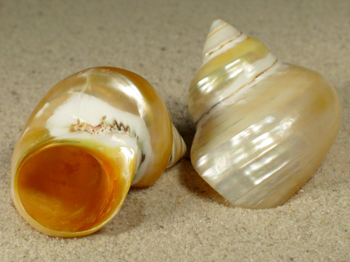 Turbo chrysostomus Perlmutt 4,5+cm