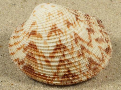 Antigona chemnitzii PH 5,5+cm