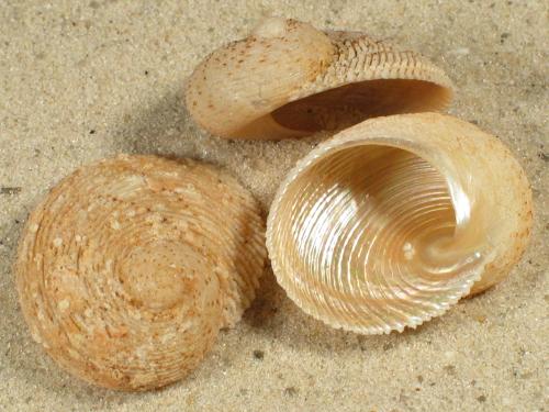 Granata imbricata AU 2,7+cm