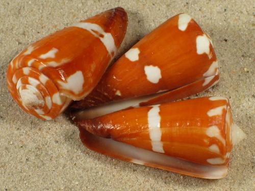 Conus litoglyphus MZ 3+cm