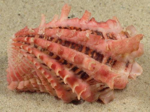 Cardita crassicostata PH 5+cm