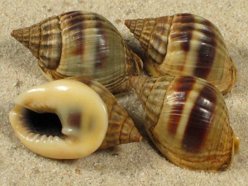 Nassarius bellulus JP 1,8+cm