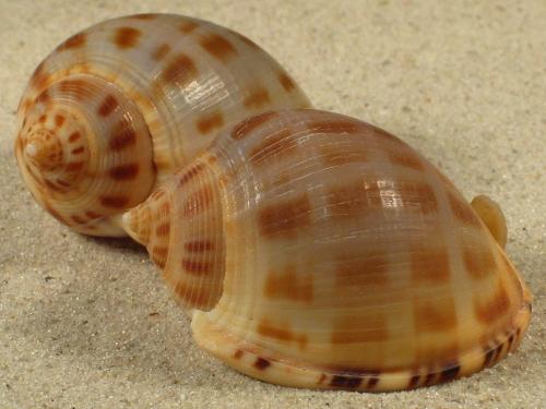 Semicassis saburon GA 4+cm